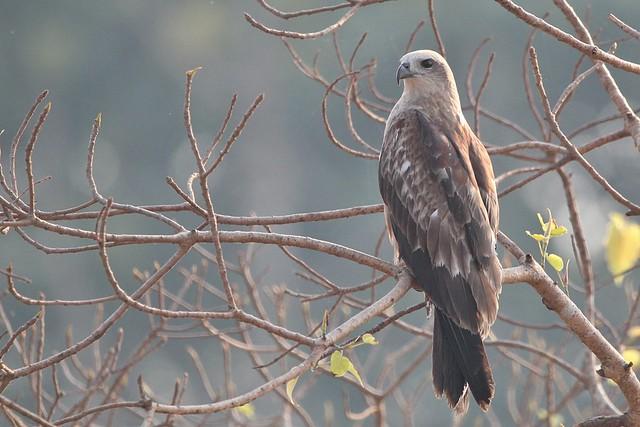 Brahminy Kite (J)