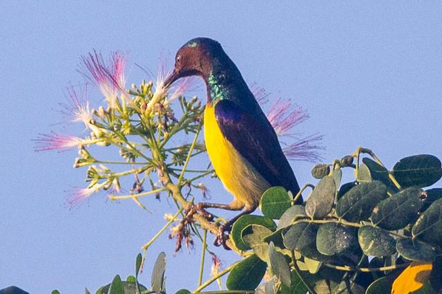 Brown-throated Sunbird - male