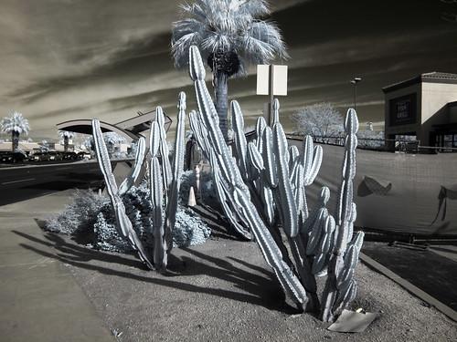 Cactus (0591)