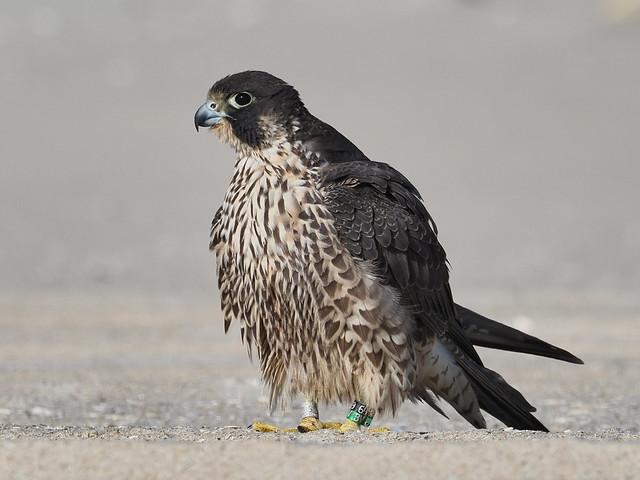 Perigrine Falcon, juvenile - Jones Beach, New York, USA