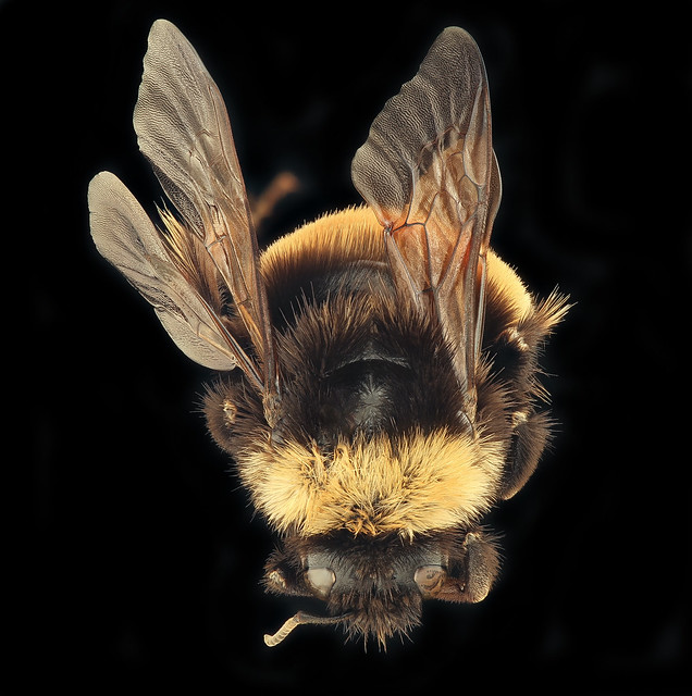 Bombus terricola, back, f, Itasca, MN_2019-10-21-16.55.14 ZS PMax UDR