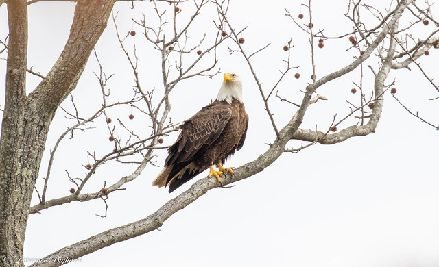 Male American bald eagle standing guard - Staten Island, New York