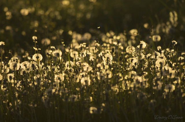 Remembering the dandelions spring with the 300mm* lens