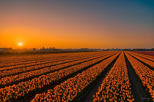 The sun is a big fan of orange tulips.