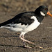 Oystercatcher Pennington Flash 261018b