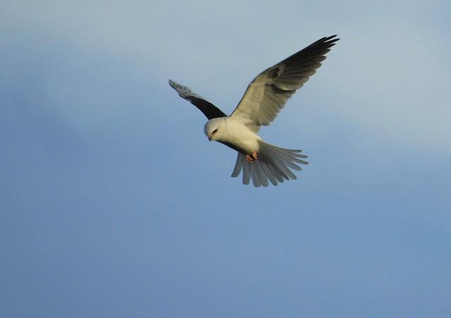 White-Tailed Kite, Kiting.