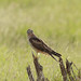 Montagu's harrier..(female)