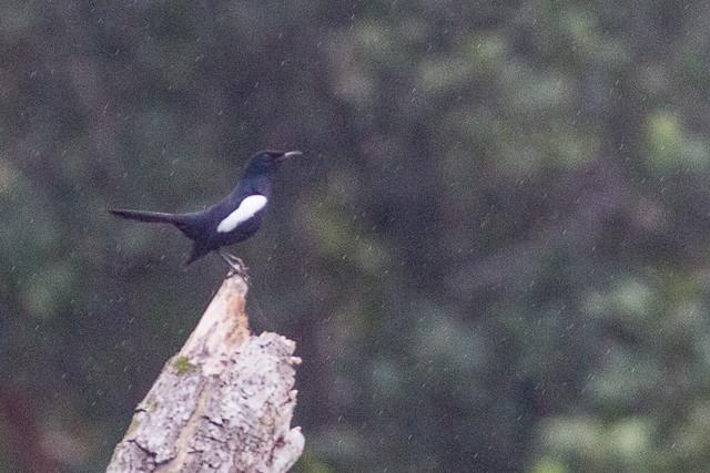 Oriental Magpie-robin  - male