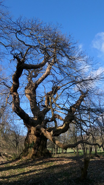 Ancient Sweet Chestnut