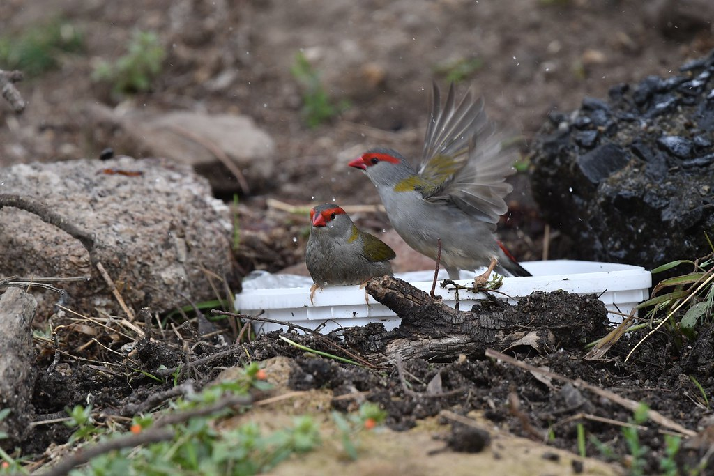 Red -browed Finch