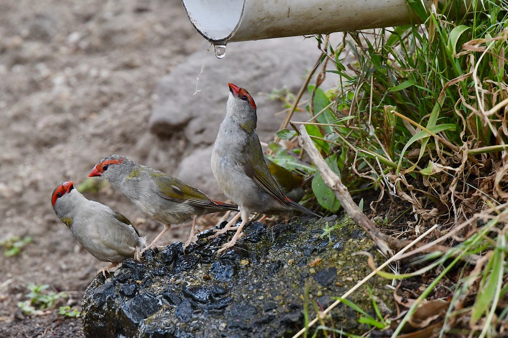 Red - browed Finch