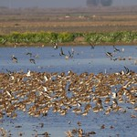 Black tailed Godwits at Brazo del Este