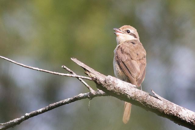 Brown Shrike