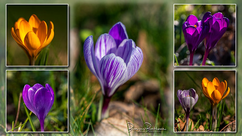 Crocuses collage