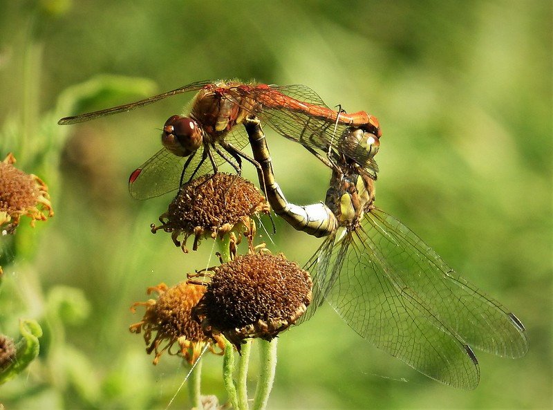 Common Hawkers mating