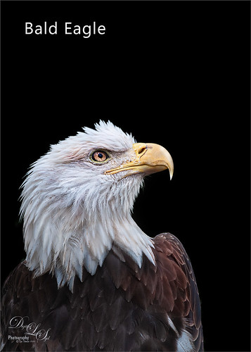 Image of one of the Eagles at the Jacksonville Zoo