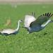 Sandhill Cranes x2