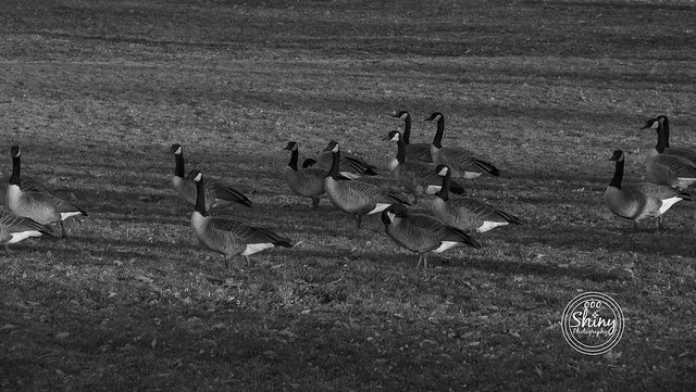 Geese wandering around, in black and white. 11-18-19, at Faversham Park in Westminster, Colorado.  ~ ~ ~ ~ ~  #Canon F/10 135mm 1/400s ISO-1000 #geese #blackandwhite #FavershamPark #Westminster #Colorado #oooShinyPhotography #oooShinyPhotos #oooShiny #Can