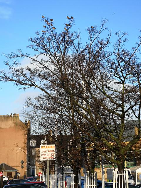 Waxwings (Bombycilla garrulus), Tesco carpark, Leith, Edinburgh