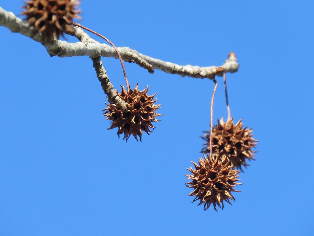 sweetgum balls on tree