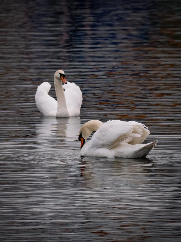 The swans strike back... 49548804081_9342f211c0_b