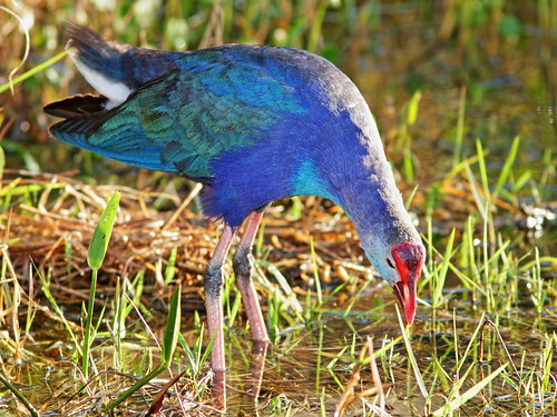 Gray-headed Swamphen 02-20200216
