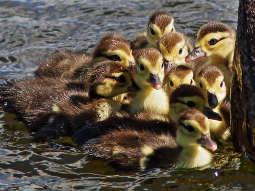 Muscovy Ducklings 01-20200217