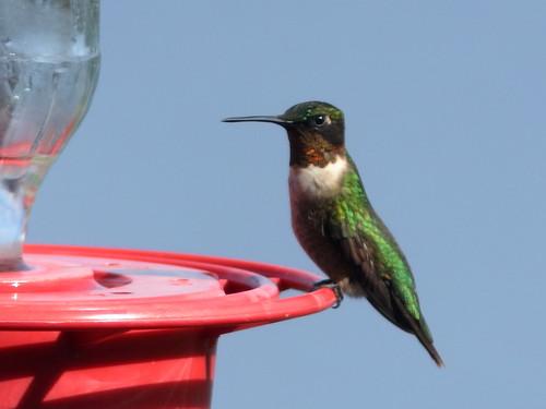 Ruby-throated Hummingbird male 02-20200207