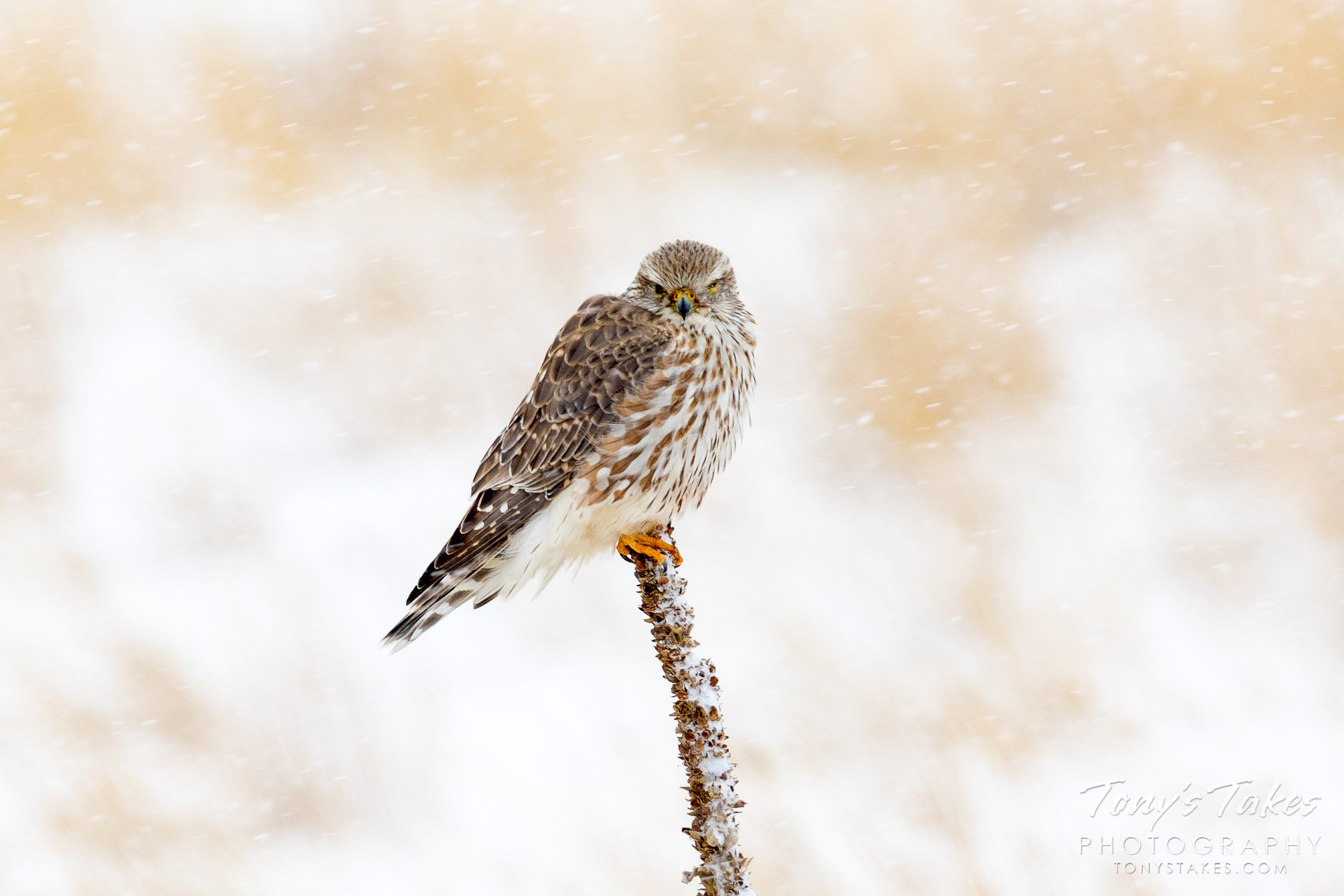 Merlin holds on tight as a snowstorm rages