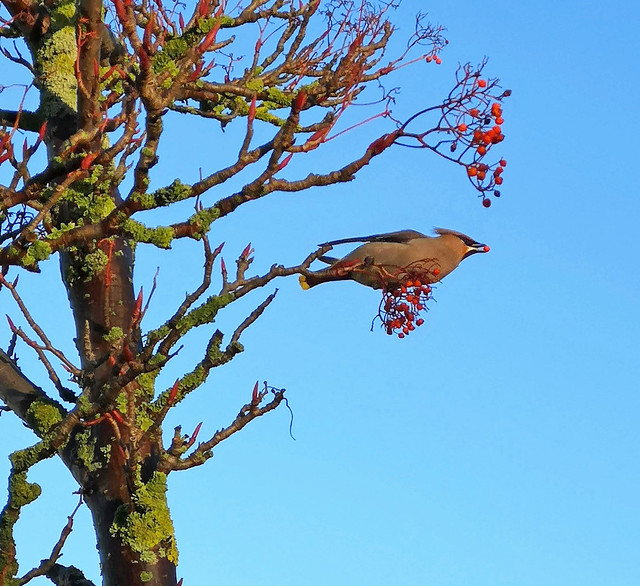 Waxwings (Bombycilla garrulus), Tesco carpark, Leith, Edinburgh