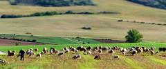 Atienza (Guadalajara, Castilla-La Mancha, Sp) - Symphonie pastorale