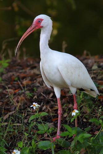 White Ibis 01-20200217
