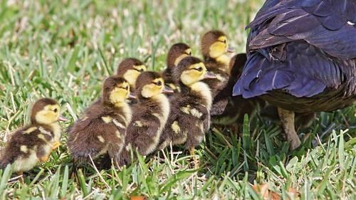 Muscovy Ducklings 02-20200217