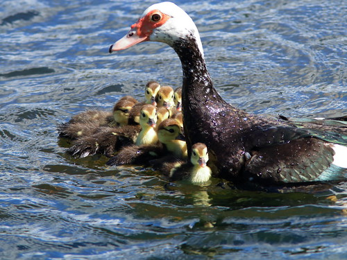 Muscovy Ducklings 04-20200217