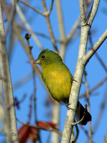 Painted Bunting female 01-20200216