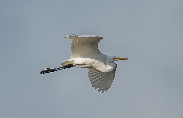Great White Egret on the far away fly by