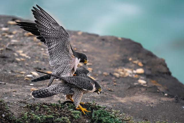 Love on the rocks (peregrine falcon)