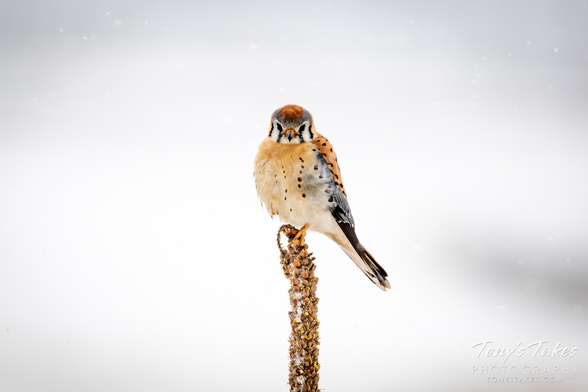 A male American kestrel hangs onto a mullein plant during a snowstorm. (© Tony's Takes)