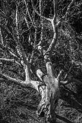 Desiccated Branches, Balanced Rock