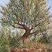 Olive Tree, Kardamyli.
