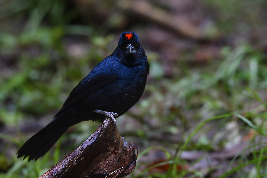 Ruby-crowned Tanager // Tiê-preto