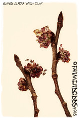 Ulmus glabra 'Wych Elm'