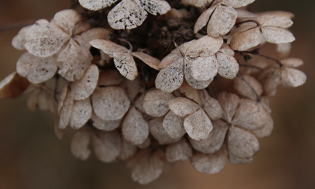 Winter Hydrangrea