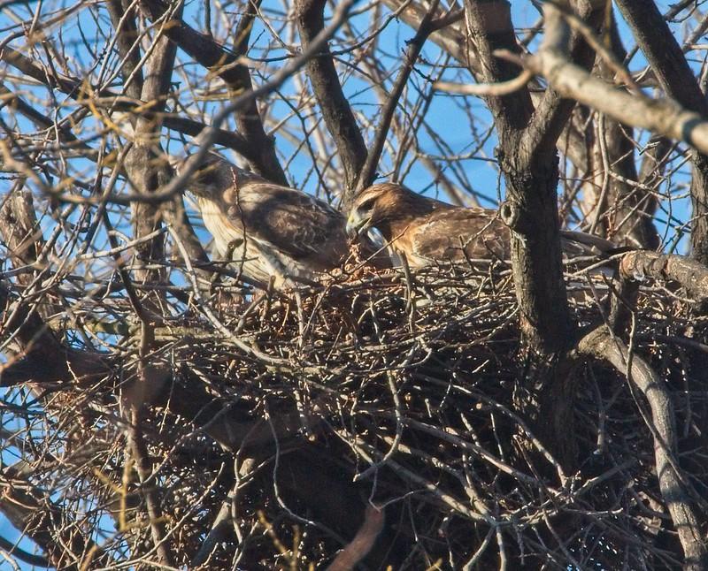 Amelia arranges bark in the nest