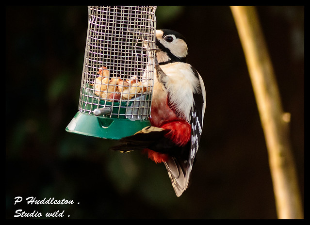 Great Spotted Woodpecker /Male .