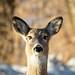 Whitetail deer portrait