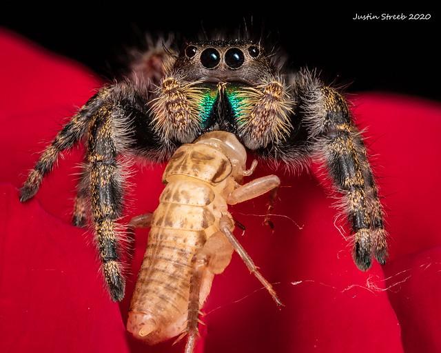 Bold Jumping Spider & Cricket_