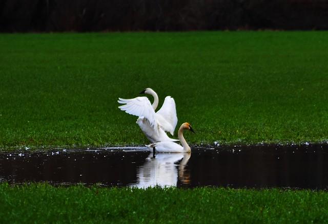 Swans in Skagit County 4