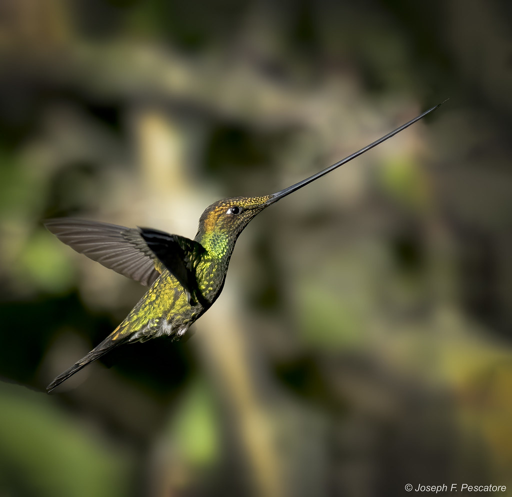 Sword-billed Hummingbird (Ensifera ensifera) - Quito, Ecuador