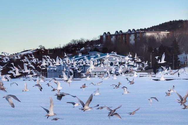 Flock of various gulls